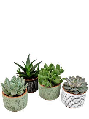 Succulent set