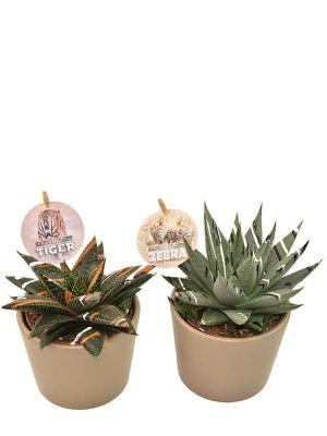 Succulent duo