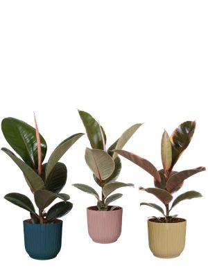 Ficus Elastica set