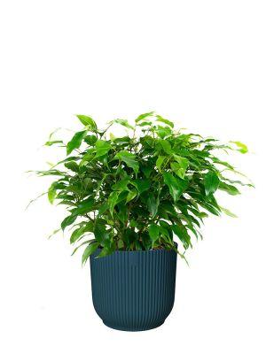Ficus Benjamina Green Kinky