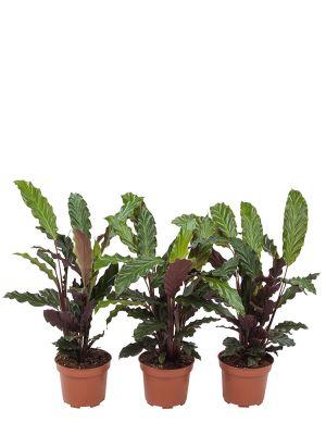 Calathea Rufibarba trio