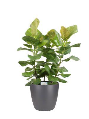 Ficus Benghalensis Sunshine