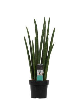 Sansevieria Cylindrica rocket