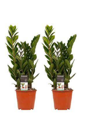 Zamioculcas Zamiifolia duo
