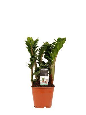Zamioculcas Zamiifolia Zenzi