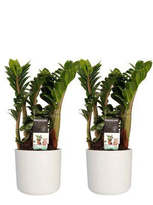 Zamioculcas Zamiifolia Zenzi duo