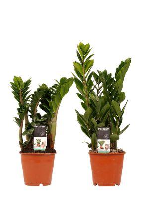 Zamioculcas Zamiifolia set