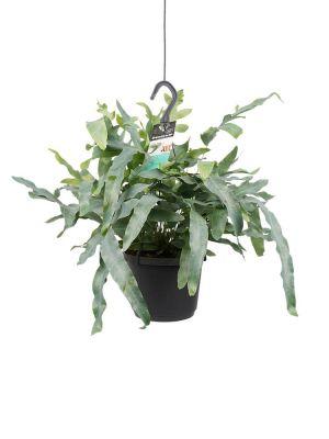 Phlebodium Areum