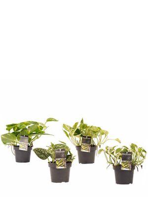 Scindapsus Pflanzen Set