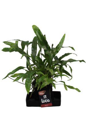 Lova Microsorum Diversifolium