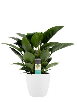 Philodendron Congo Apple