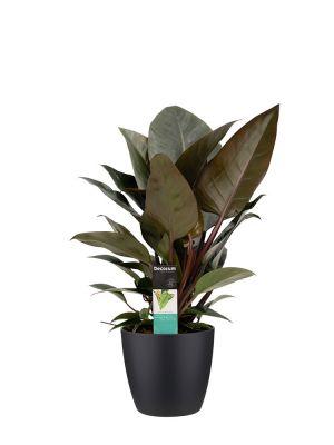 Philodendron Congo Rojo