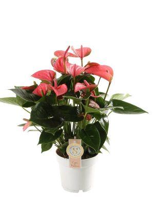 Anthurium Pink Champion