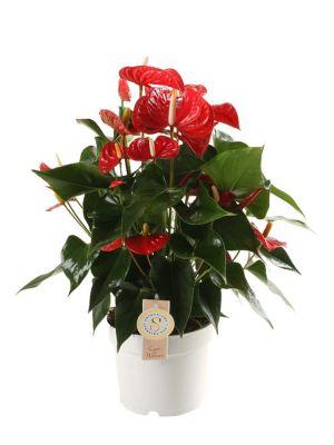 Anthurium Red Champion