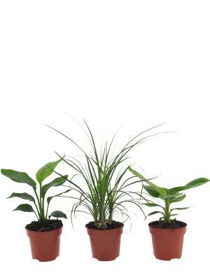 Set de plantes paradisiaques