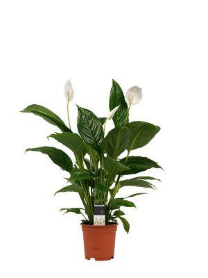 Spathiphyllum Vivaldi